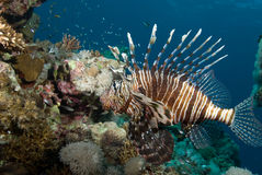 An adult Common lionfish (Pterois miles) side view Royalty Free Stock Photos