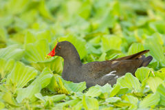 Adult Common Moorhen Stock Photography