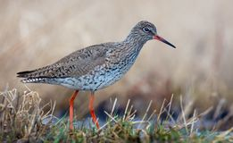 Adult Common Redshank close neat shot in grassy fields near a waterpond stock images