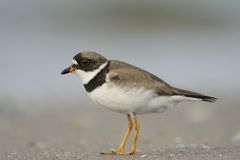 Free Adult Common Ringed Plover Royalty Free Stock Photography - 26464667