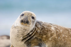Adult Common Seal. On the beach. Helgoland Germany royalty free stock photos