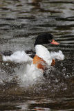 Adult Common Shelduck splashing in the water cleaning her feathers Stock Photos