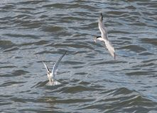 Common Tern and young royalty free stock photo