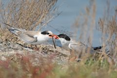An adult common tern feeds a chick with fish Stock Photos