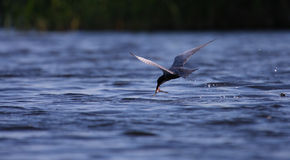 Adult common tern Sterna hirundo flying with catch. In the marshes Royalty Free Stock Photo