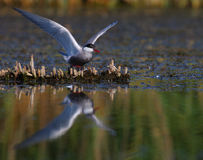 Adult common tern Sterna hirundo spreading wings. On a summer day in the swamp Royalty Free Stock Photography
