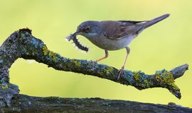 Adult Common whitethroat with a worm in mouth for his nestlings royalty free stock photo