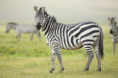 Adult Common Zebra, Ngorongoro Crater, Tanzania Stock Photo