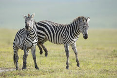 Adult Common Zebra's fighting, Ngorongoro Crater, Tanzania Royalty Free Stock Photos
