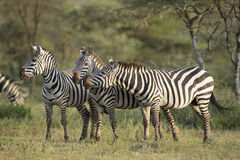 Adult Common Zebra, Tanzania. Three Adult Common Zebra in the Ndutu area of the Ngorongoro Conservation area, Tanzania, (Equus quagga Stock Images