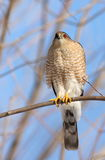 Adult Cooper's Hawk Royalty Free Stock Photos