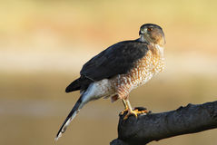 Adult Cooper's hawk Royalty Free Stock Images