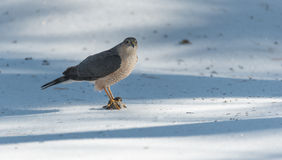 Adult Cooper's Hawk (Accipiter cooperii) sits atop spring snow with its talons locked onto a fresh kill of prey. Royalty Free Stock Image