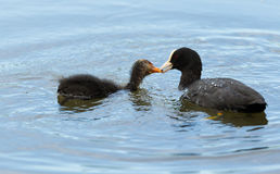 Adult coot feeding young Royalty Free Stock Image
