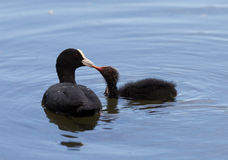 Adult coot feeding young Royalty Free Stock Images