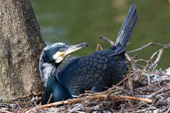 Adult cormorant resting royalty free stock photography
