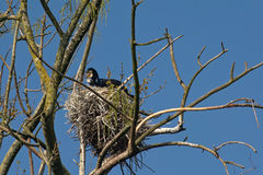 Adult cormorant and it;s chik in nest - Phalacrocoracidae Royalty Free Stock Photography