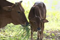 Adult Cow with Baby Calf Royalty Free Stock Photography