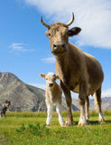 An adult cow and calf Royalty Free Stock Image