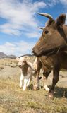 An adult cow and calf Stock Photography