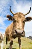 An adult cow and calf Stock Photos