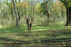 Adult cow elephant coming out from forest stock photo