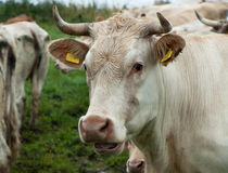 An adult cow Royalty Free Stock Photo