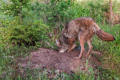 Adult Coyote (Canis latrans) Digs in Den Royalty Free Stock Photography