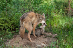 Adult Coyote (Canis latrans) Muzzle Grasps Pup. In pacifying behavior - captive animal Royalty Free Stock Photo