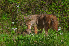 Adult Coyote (Canis latrans) and Pup Share a Moment Stock Photo