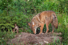 Adult Coyote (Canis latrans) and Pup Sniff About Den Stock Images