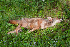 Adult Coyote (Canis latrans) Rolls in Scent Royalty Free Stock Images