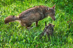 Adult Coyote (Canis latrans) Runs Circles Around Pup Stock Photos