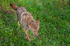 Adult Coyote (Canis latrans) Runs Through Grasses Royalty Free Stock Photo
