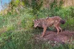 Adult Coyote (Canis latrans) Stands at Densite Stock Photo