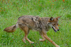 Adult Coyote on the move. Adult Coyote walking in a bed of wildflowers Royalty Free Stock Images