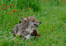 Adult Coyote playing with a wolf pup. royalty free stock image