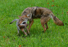Adult Coyote playing with a wolf pup. Royalty Free Stock Photo