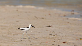 Adult Crab-Plover Royalty Free Stock Image