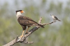 Crested Caracara with Northern Mockingbird in southern Texas, USA. An adult Crested Caracara in southern Texas, USA stock image