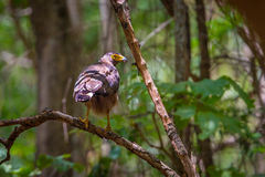Adult Crested serpent-eagle(Spilornis cheela) Stock Photos