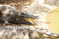 Adult crocodile with gaping jaws Stock Photography