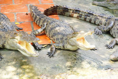Adult crocodile with gaping jaws Royalty Free Stock Photos