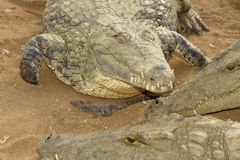 Adult crocodiles  a young crocodile Royalty Free Stock Image