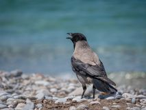 Adult crow on the beach close portrait stock image