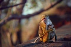Adult cuddling baby monkey Royalty Free Stock Image