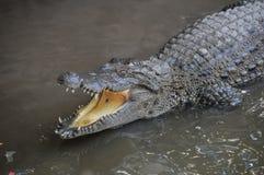 Free Adult Dangerous Crocodile Royalty Free Stock Image - 46859056