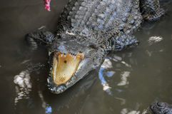 Adult Dangerous Crocodile Stock Images