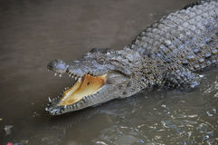 Adult Dangerous Crocodile Royalty Free Stock Image