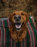 Adult Dark Golden Retriever Sits on Multicolored Striped Mat stock photography